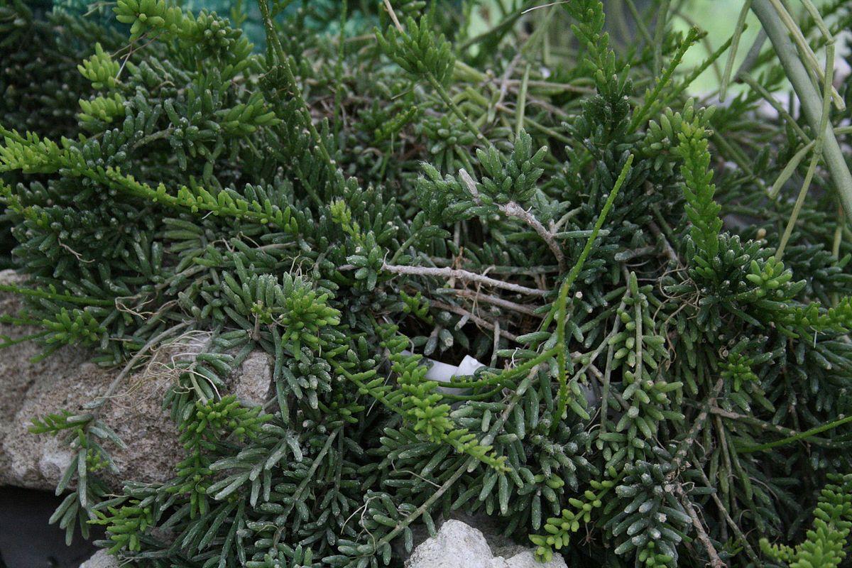 Рипсалис мезембриантемовый