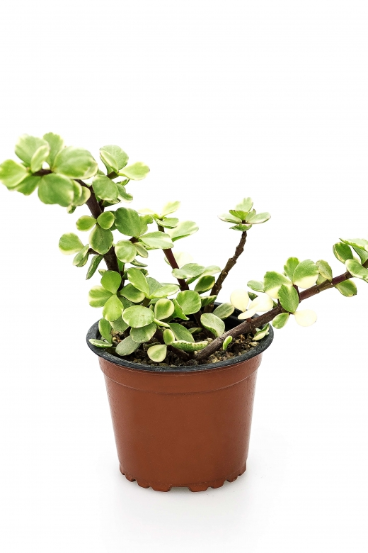 Portulacaria afra variegata ( Портулакария вариегатная)