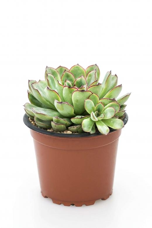 Echeveria pelusida (Эхеверия пелюсида)