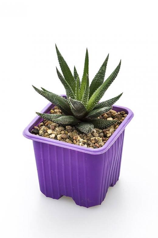 Haworthia concolor (Хавортия конколор)
