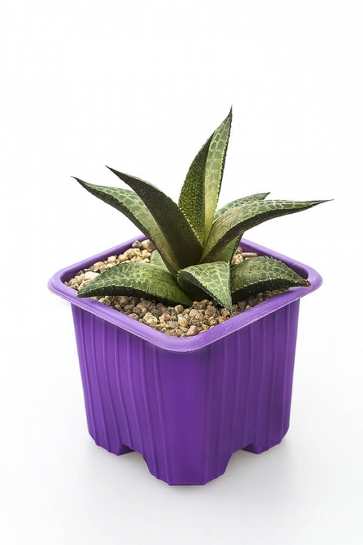 Haworthia tessalata (Хавортия тессалата)