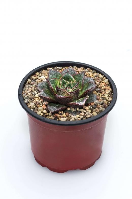 Echeveria purporeum (Эхеверия пурпореум)