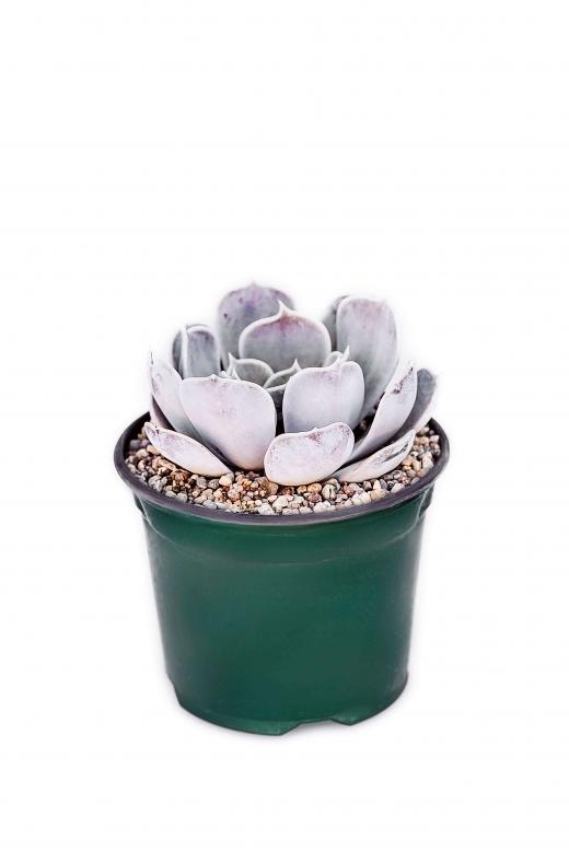 Echeveria lilacina (Эхеверия Лилацина)
