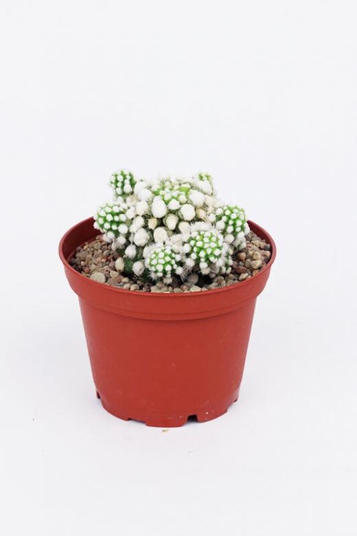 Mammillaria gracilis ( Маммилярия стройная)