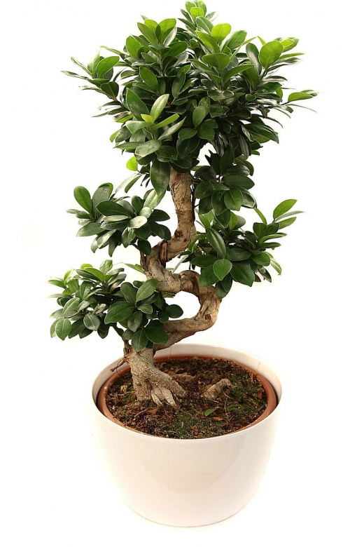 Бонсай гинсенг / bonsai Ginseng