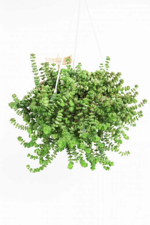 Crassula perfoliata (Крассула перфолиата)