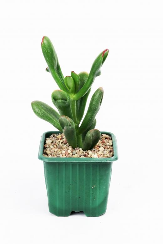 Crassula horntree tricolor (Крассула хорнтри триколор)