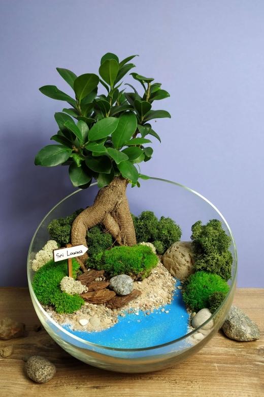 Мини-сад с бонсаем гинсенг ( Ficus Gingseng) А6