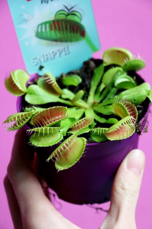 Венерина мухоловка (Dionaea muscipula) К12