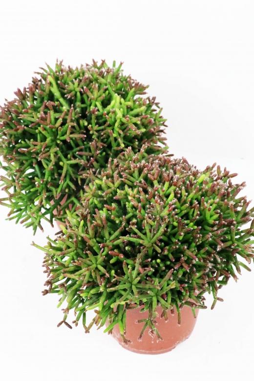 Rhipsalis (рипсалис) 7