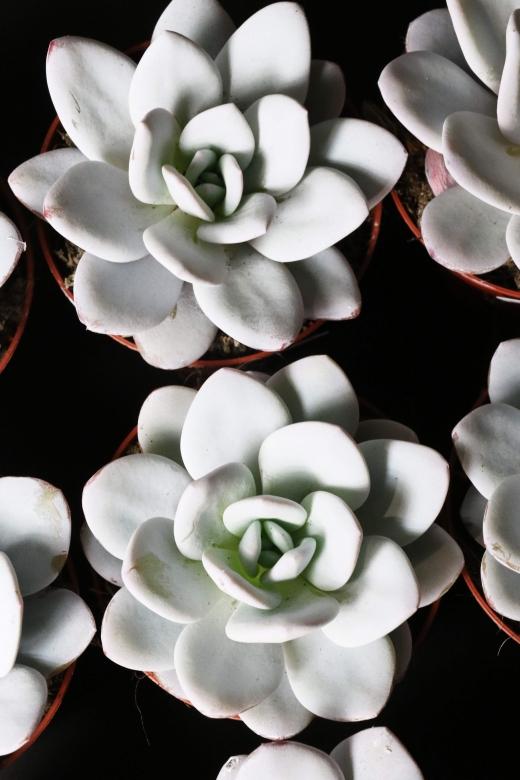 Эхеверия Лауи ( Echeveria laui )