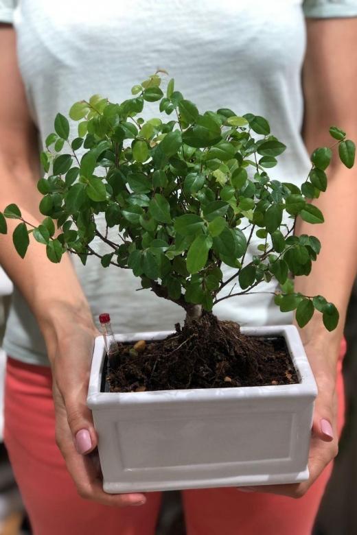 Бонсай Дзельква с автополивом / bonsai Zelkova
