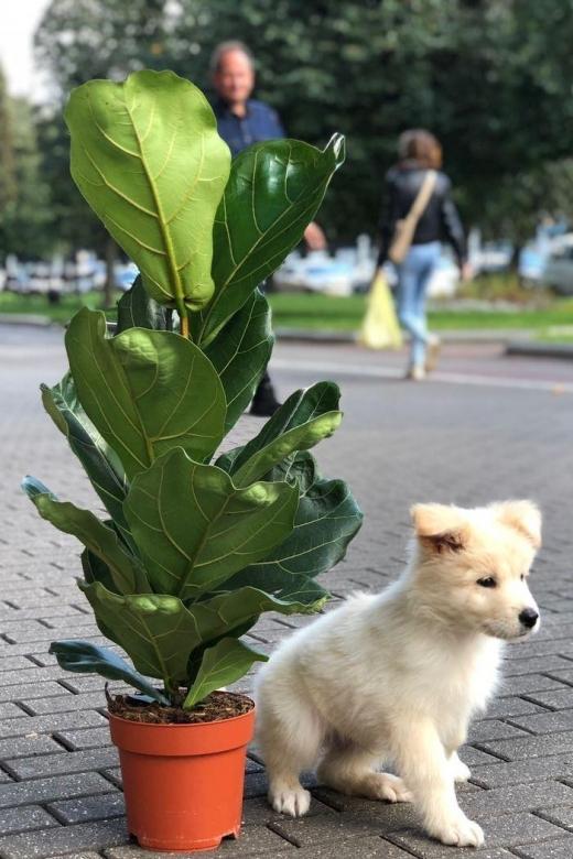 Фикус Лирата/ Ficus Lyrata