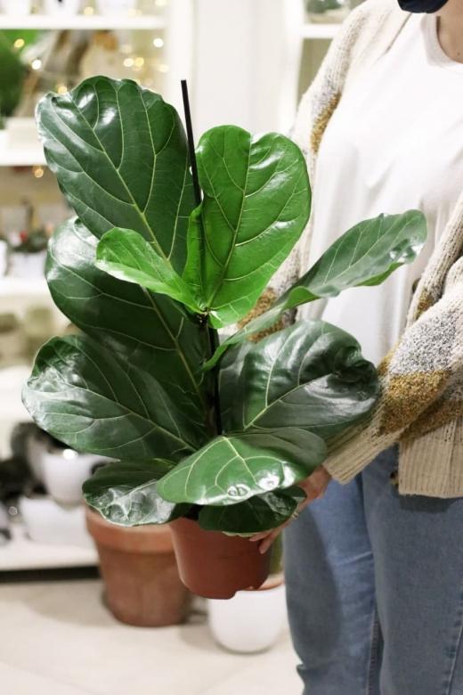 Фикус Лирата/ Ficus Lyrata W