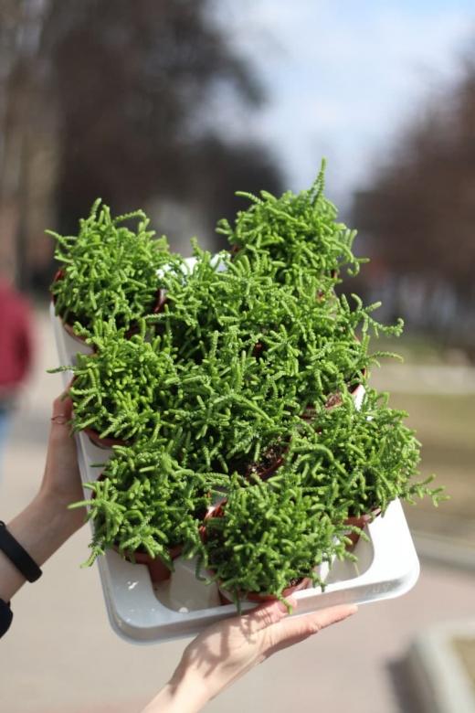 Крассула Мускоза (Crassula muscosa) 10.5 см
