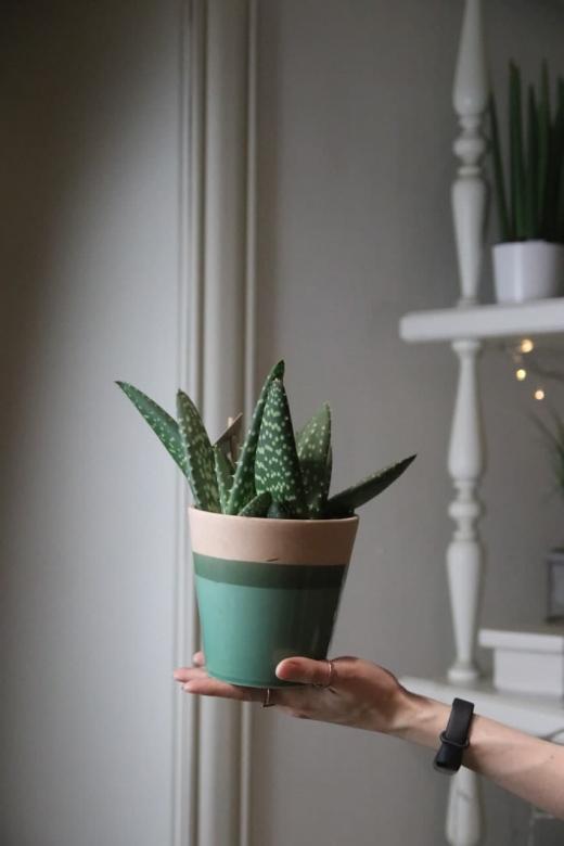 Алоэ парадисикум (Aloe paradisicum)